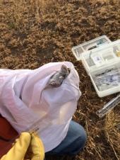 Eric measuring a Peromyscus maniculatus, Spring 2015